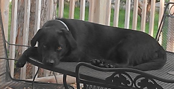 Beau, black lab mix, knows diddley. ;)